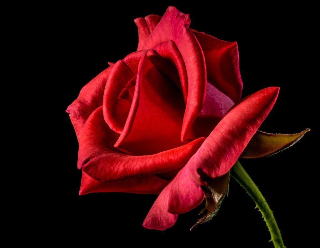 rose 320868 1920