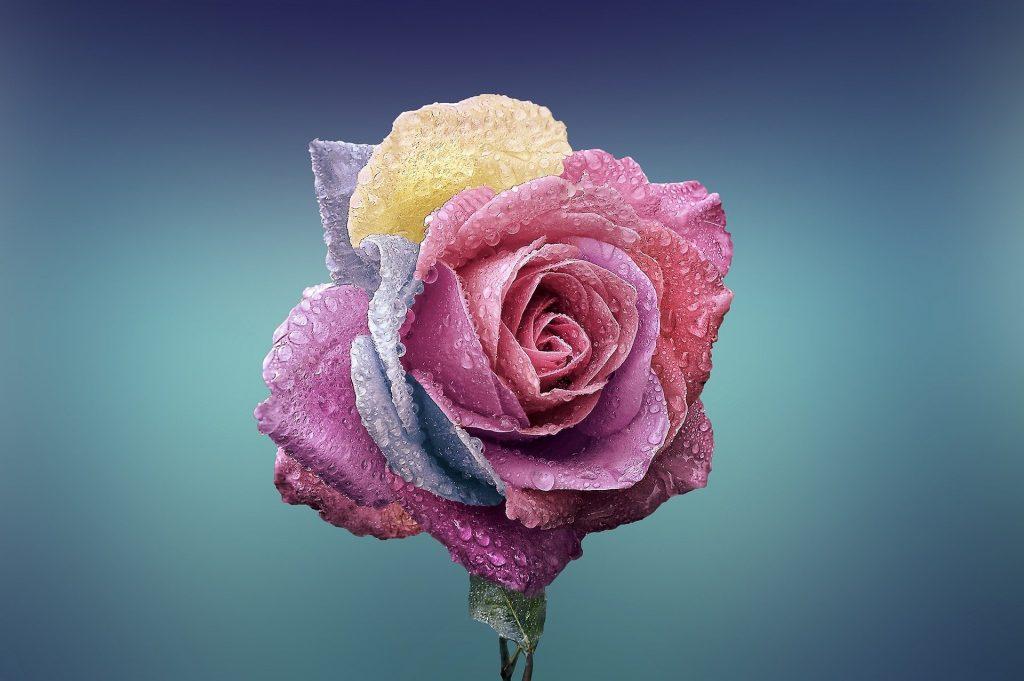 rose 729509 1920